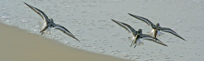Three sanderlings in flight over ocean
